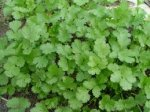 How To Grow And Care For Cilantro, How To Grow Cilantro