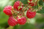 How To Grow And Care For Raspberries, How To Grow Rasberries