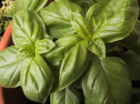 How To Plant And Care For Basil, How To Grow Basil